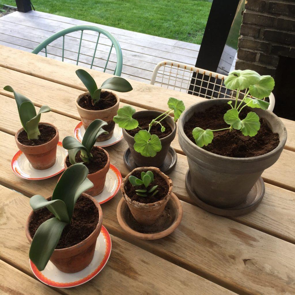 Stiklinger af stue- og krukkeplanter