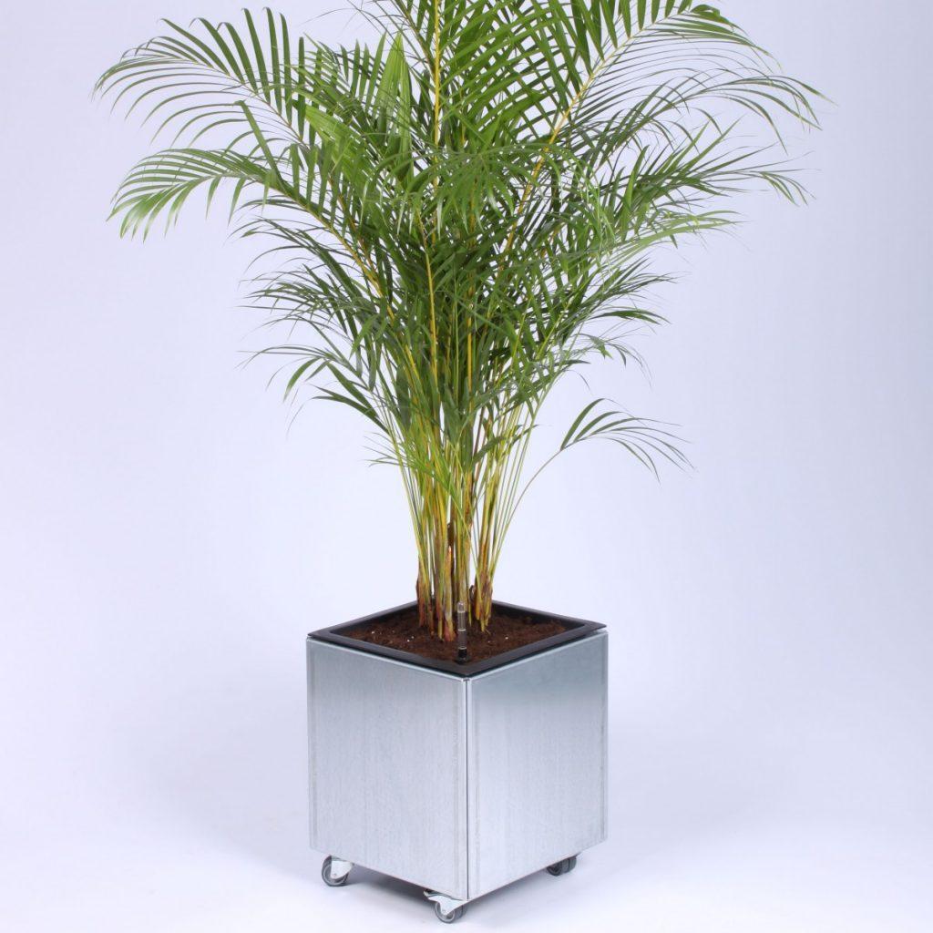40 x 40 cm plantekumme i corten med palme