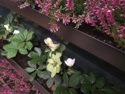 Nærbillede af Land Haves plantevæg eller alternative altankasse. her er den tilplantet med lyng og juleroser, der lyser op i vintermørket
