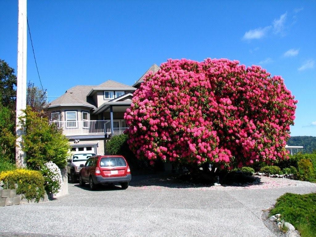 125 år gammel rhododendron