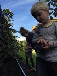 Vi sår spinat og vårsalat i september