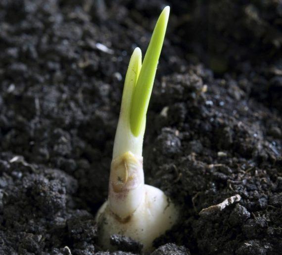 Hvidløg der spirer i haven