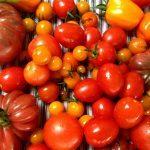 Sådan dyrker du tomater