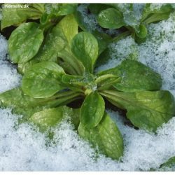 Vårsalat under et let snelag